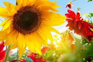 Sonnenblume Infrarotheizung