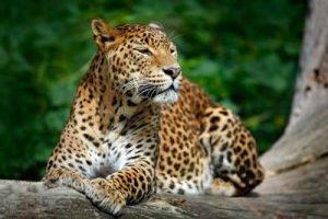 Leopard, Sri Lanka Infrarotheizung