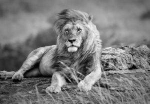 Löwe, schwarzweiss Infrarotheizung
