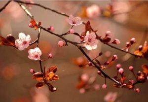 japanische Kirschblüten Infrarotheizung